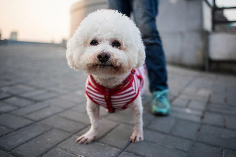 Poodle x Bichon Frisé: Quem é quem? - Raças de cães - Saúde